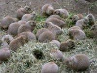 Hagenbecks Tierpark Präriehunde